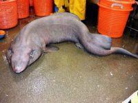 """باحثون يكتشفون سمكة """"قرش الأريكة"""" النادرة"""