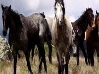 جدل كبير في الأوساط الاسترالية بسبب خطة حكومية لإعدام آلاف الخيول البرية